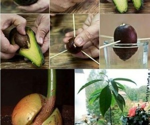 avocado, plants, and diy image