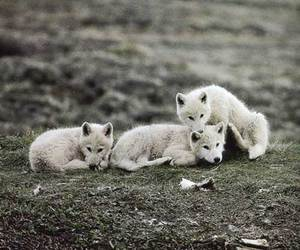 animal, puppy, and wolf image