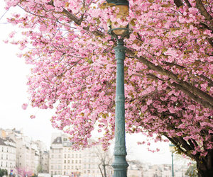 pink, paris, and tree image
