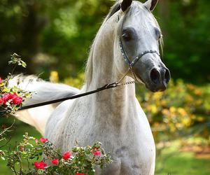 arabian, beautiful, and stallion image