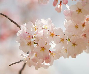 49 Images About Fleurs De Cerisier On We Heart It See More About