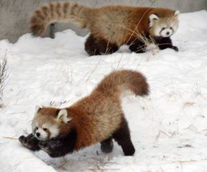 Red panda, snow, and cute image