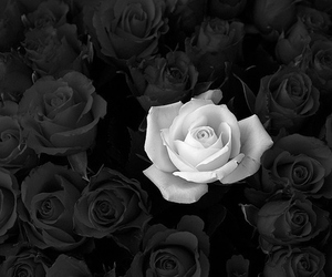 beautiful, love, and roses image
