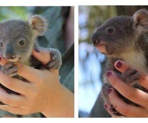 animal, baby, and Koala image