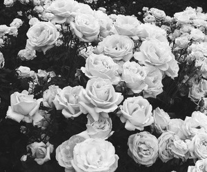 black and white, flowers, and garden image