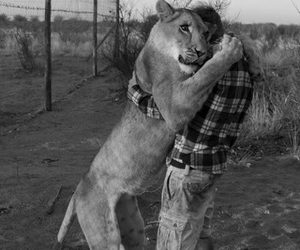 love, animal, and lion image