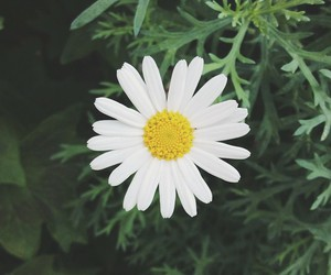 flower, daisy, and nature image