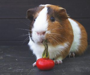 cute animals, guinea pig, and pet image