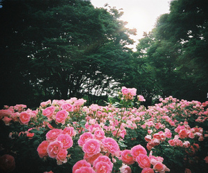 flowers, rose, and tree image