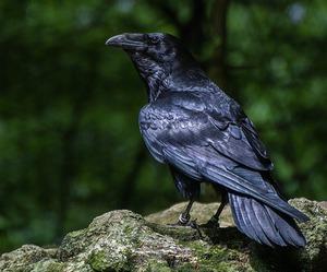 bird and raven image