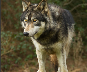 wolf, animal, and beauty image