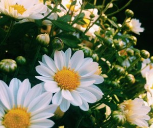 daisies, flores, and green image