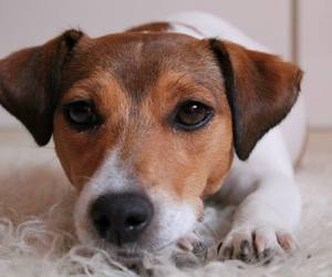 dog, jack russell terrier, and mika image