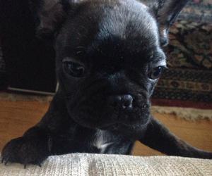 french bulldog puppy cute image