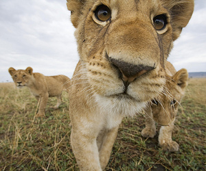 beautiful eyes, cute, and lioness image