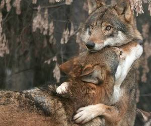 wolf, animal, and hug image