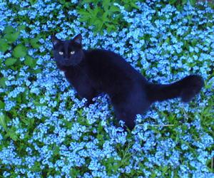 black cat, blau, and blumen image