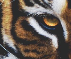 eye, tiger, and animal image