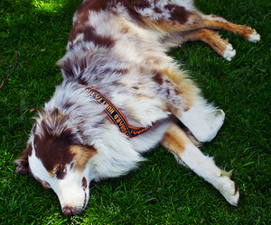 australian shepherd and dog image