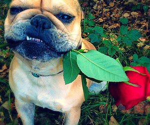 dog pet french bulldog image