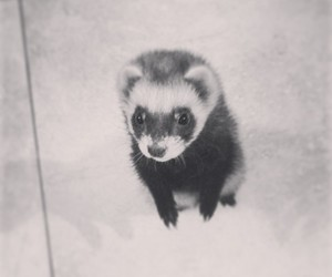 animal, ferret, and little image