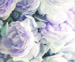 purple, rose, and roses image
