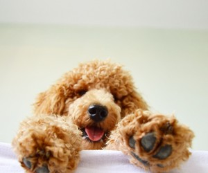 dog, paws, and poodle image