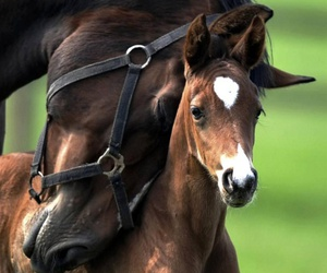 horse, horses, and foal image