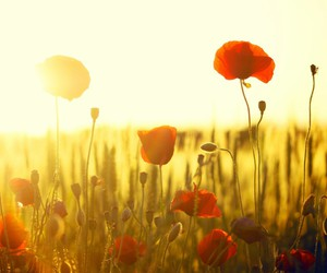 flowers, poppy, and sun image
