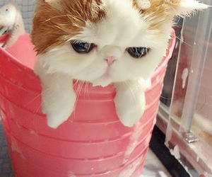 asian, bathing, and cat image