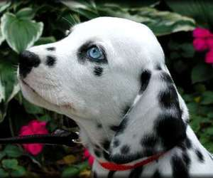 puppy, dalmatian, and doggy image