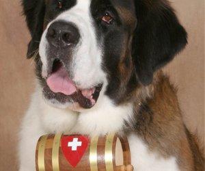 dog and st bernard image