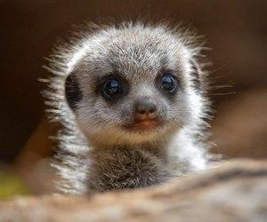 animal, meerkat, and cute image