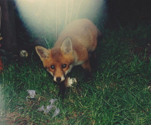 fox, animal, and indie image