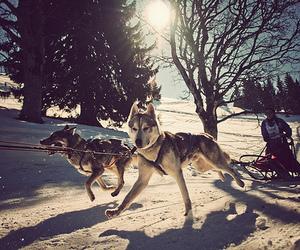 dog, snow, and husky image