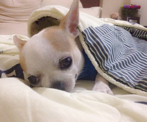 chihuahua, dog, and a place to love dogs image