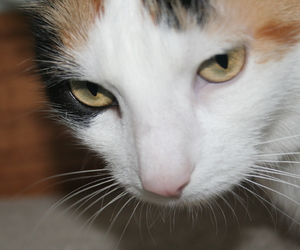 calico, cute, and cat image