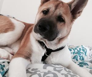 dog, puppy, and american akita image