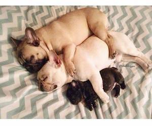 beauty, perros, and bulldog frances image