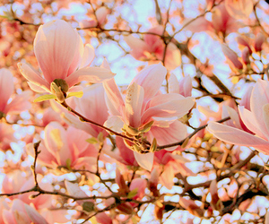 cherry blossom, pretty, and blush pink image