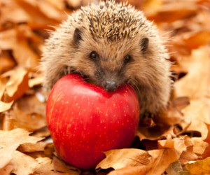 apple, hedgehog, and red image