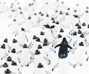 black, life, and penguins image