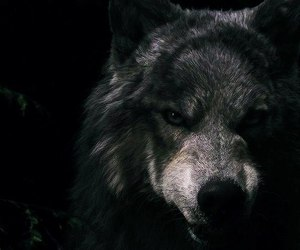 wolf, black, and dark image