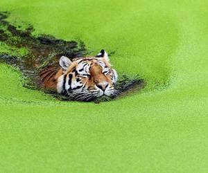 tiger, animal, and green image