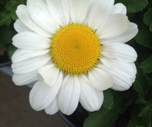 daisy, nature, and flower image