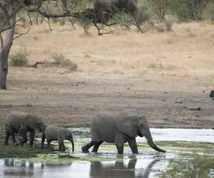 africa, wild, and elephant image