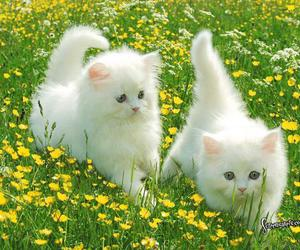 cat, kitten, and white image