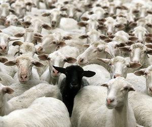sheep and blacksheep image