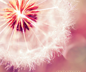 flowers, dandelion, and pink image