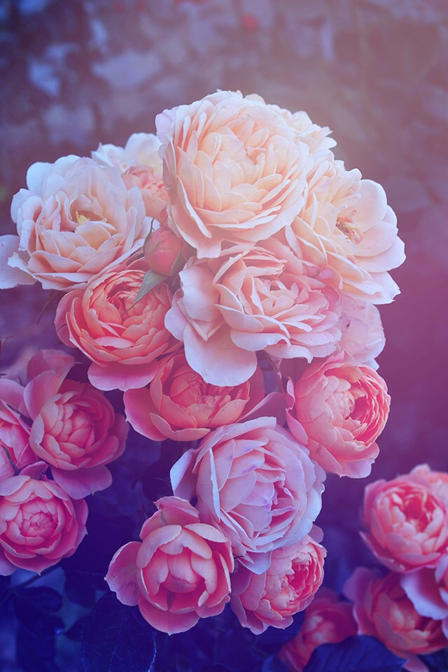 Beautiful Pink Roses IPhone Wallpaper On We Heart It